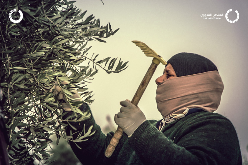 IhsanRD has launched Olive Tree Support project in southern Idlib countryside